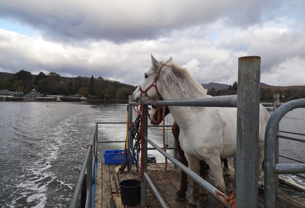 2018 horses taking a holiday on an island in Kenmare Bay